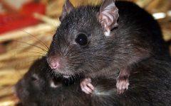 Rats in Roubaix
